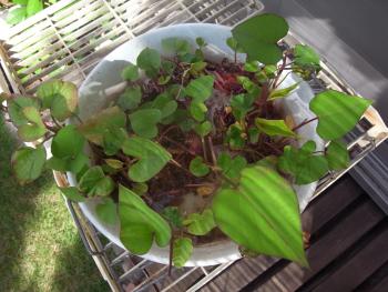 ハルのご飯サツマイモ葉