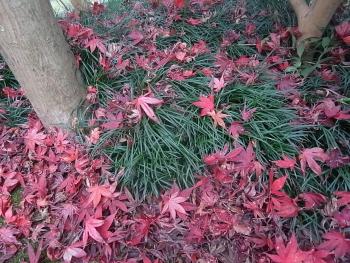 紅葉の落葉3