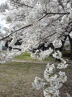 桜130329_1205~02