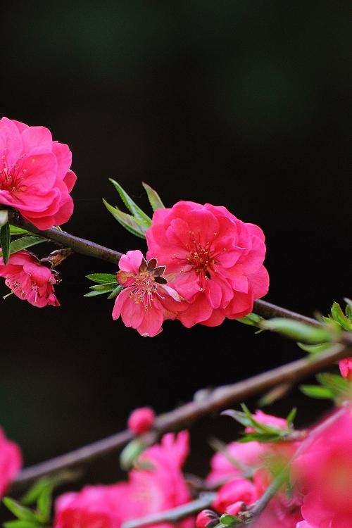 枝垂れ桃25