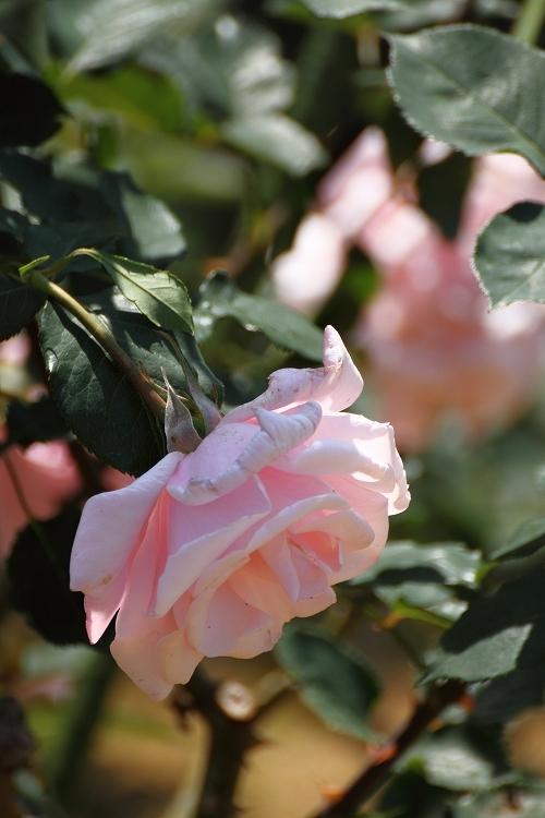 東山薔薇09