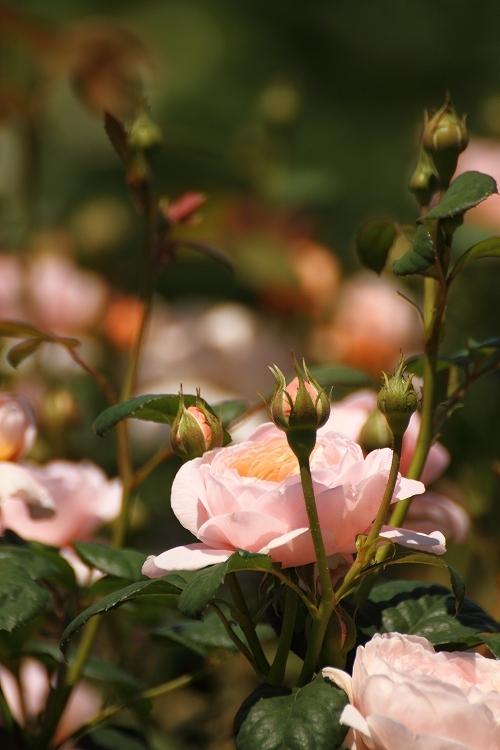 東山薔薇10