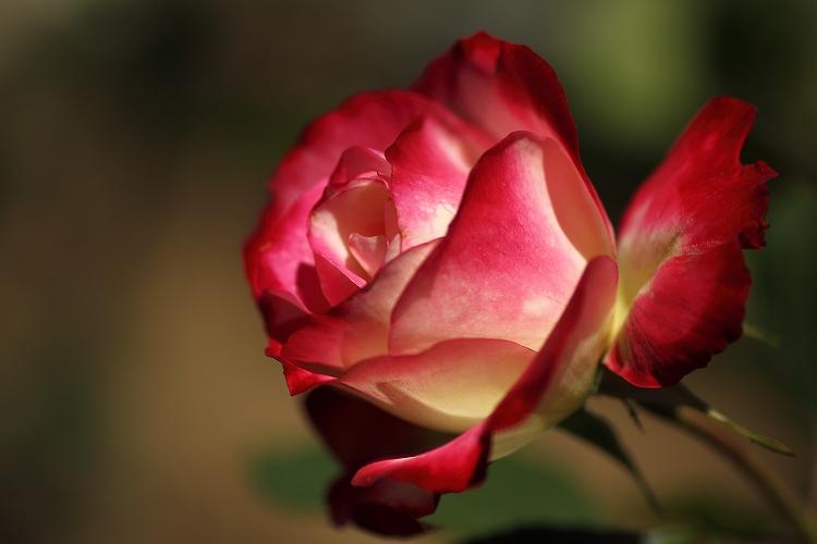 東山薔薇05