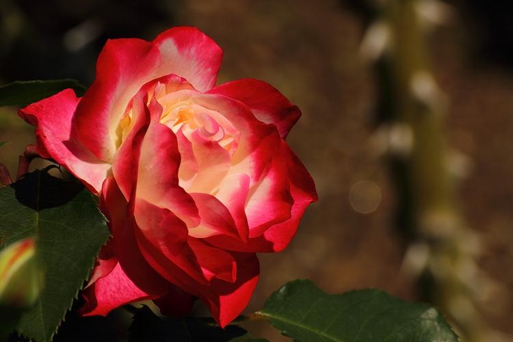 東山薔薇06