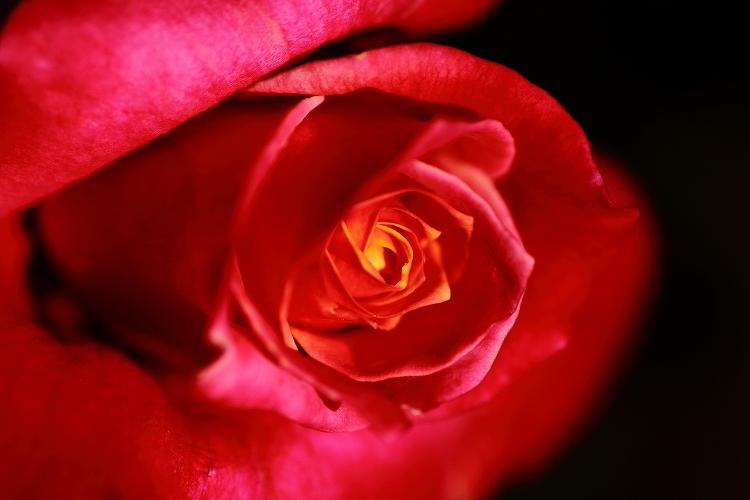 東山薔薇03