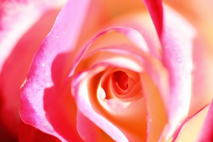 東山薔薇04