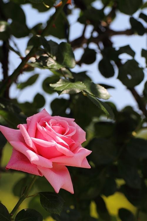 東山薔薇31