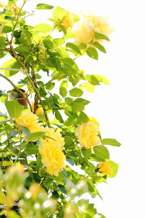 東山薔薇30