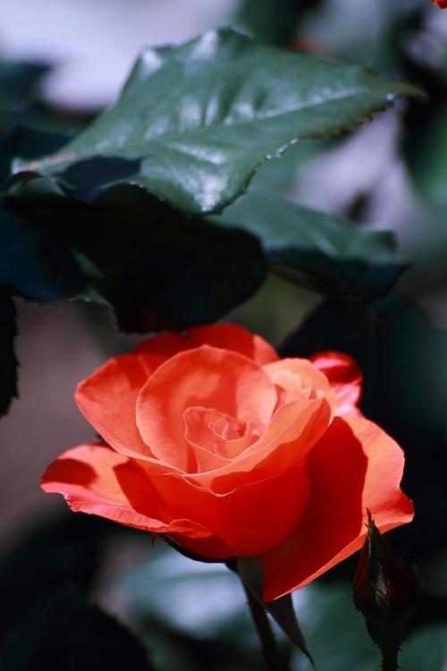 東山薔薇32