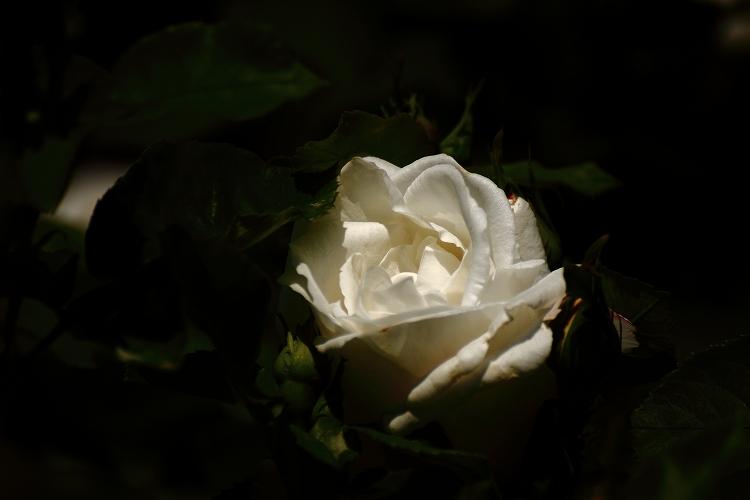 東山薔薇28