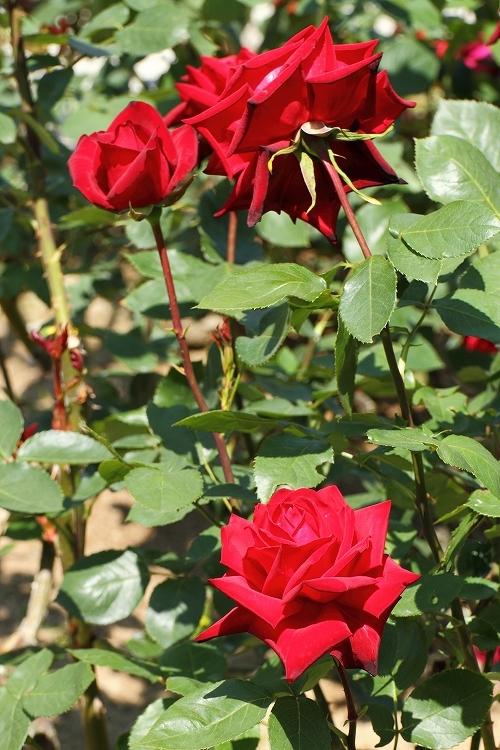 東山薔薇26