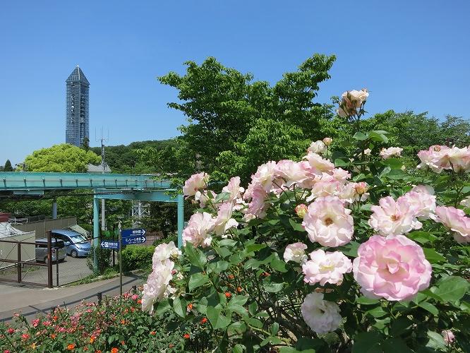 東山薔薇21