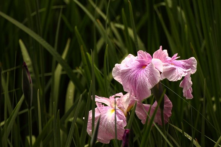 加茂花菖蒲園12
