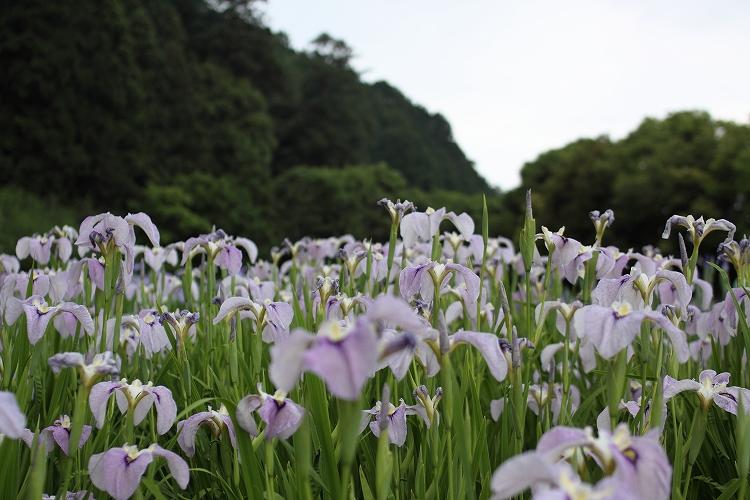 加茂花菖蒲園04