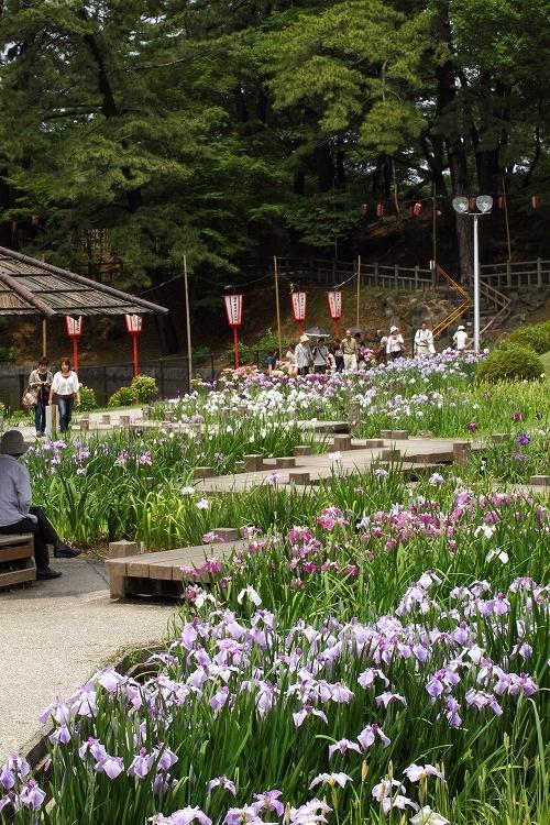 岡崎東公園_花菖蒲246