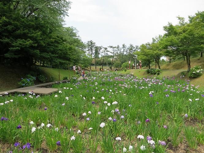 岡崎東公園_花菖蒲244