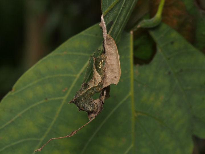 コミスジ幼虫-OMD02695