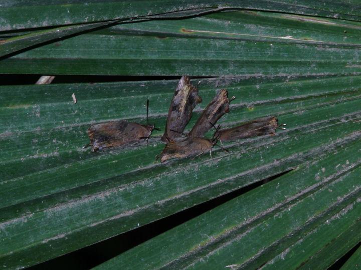 ムラサキツバメ越冬aシュロ-IMG_0222