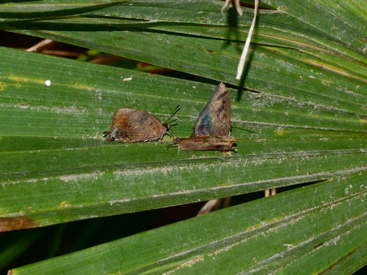 ムラサキツバメ越冬準備-OMD02478