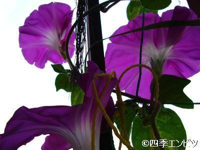 20110726 あさがおの開花
