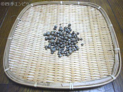 201109 むかご 収穫