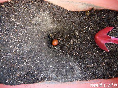 20110919 紅ジャガイモ 秋作 02
