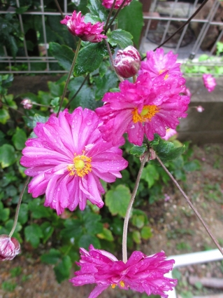 庭の山野草 012-001