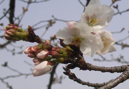 20130316sakura.jpg