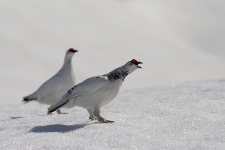 二羽のオス雷鳥