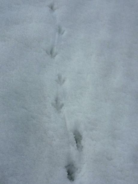 雷鳥の足跡