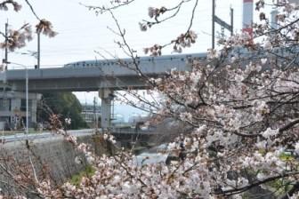 DSC_1196桜