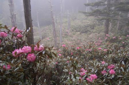 76乙女の森のシャクナゲ
