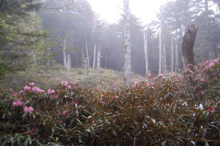 77乙女の森のシャクナゲ