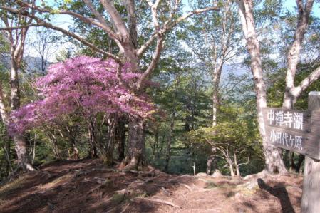 7山頂のミツバツツジ