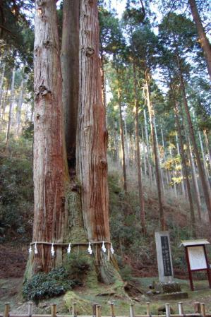 3御岩神社・三本杉