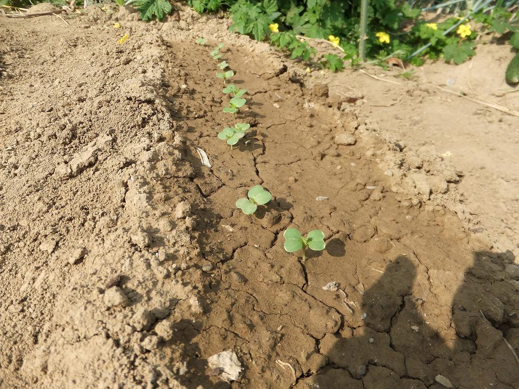 白菜の発芽