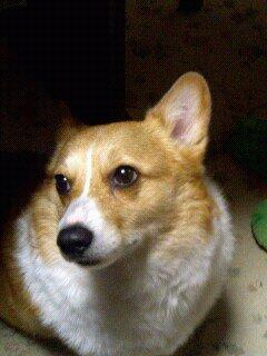 先住犬ニッキー(コーギー)