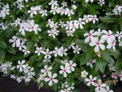 小花弁の日々草 白 s