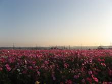 コスモス畑1