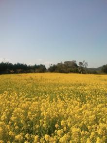 とまの気ままな日記-菜の花畑