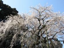 とまの気ままな日記-桜2