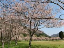 とまの気ままな日記-桜1