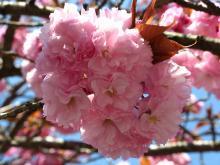 とまの気ままな日記-八重桜