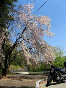 とまの気ままな日記-しだれ桜