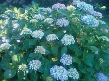 とまの気ままな日記-紫陽花