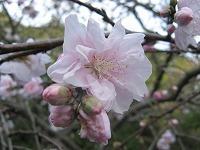 とまの気ままな日記-桜