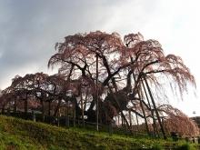 とまの気ままな日記-三春滝桜1
