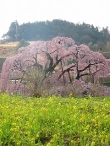 とまの気ままな日記-三春滝桜2