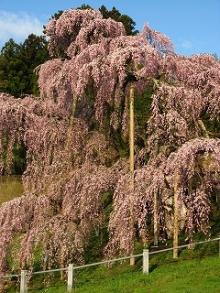 とまの気ままな日記-三春滝桜3