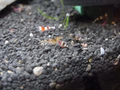 稚エビ 負けずに赤虫に食らいつきます